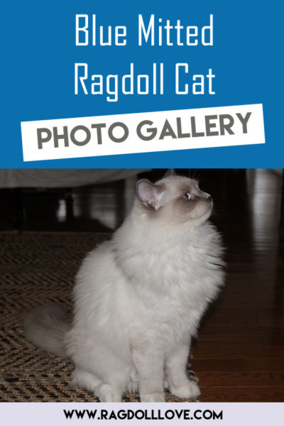 Blue Mitted Ragdoll Cat Looking away
