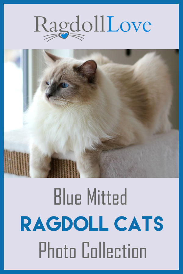 Blue Mitted Ragdoll Cat on top of a cat climber