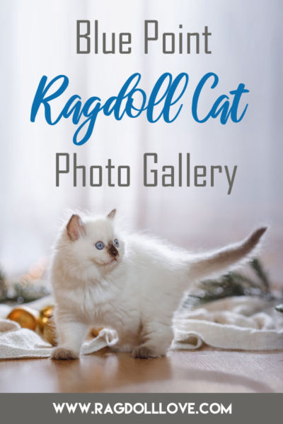 Blue Point Ragdoll Kitten