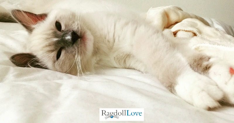 Blue mitted Ragdoll kitten with hourglass blaze lying down