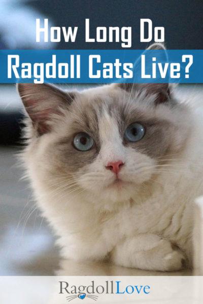 Blue Bicolour Ragdoll Cat Sweet Face Blue Eyes