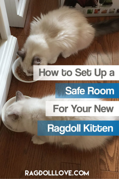 2 RAGDOLL KITTENS EATING FROM BOWLS - HOW TO SET UP A SAFE ROOM FOR YOUR NEW RAGDOLL KITTEN