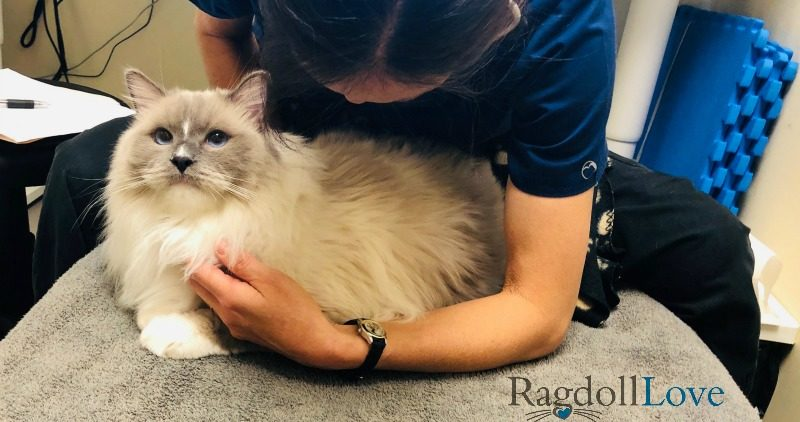Holistic Vet and Blue Mitted Ragdoll Cat