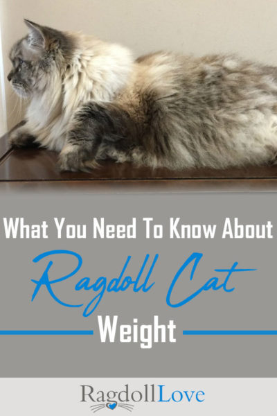 Large purebred Ragdoll Cat profile