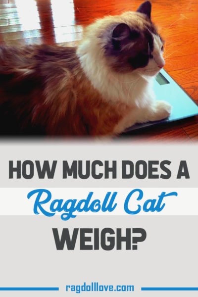 HOW MUCH DOES A RAGDOLL CAT WEIGH - SEAL BICOLOUR RAGDOLL CAT ON WEIGH SCALE
