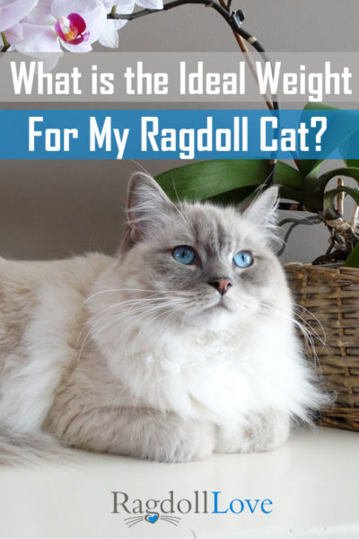 WHAT IS THE IDEAL WEIGHT FOR MY RAGDOLL CAT - BLUE LYNX RAGDOLL CAT LYING DOWN