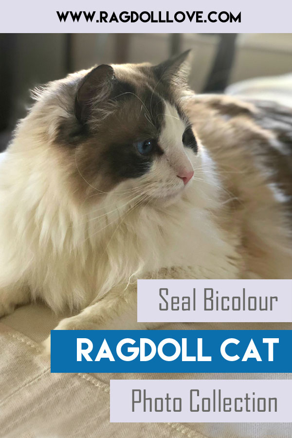 Seal Bicolor Ragdoll Cat Profile