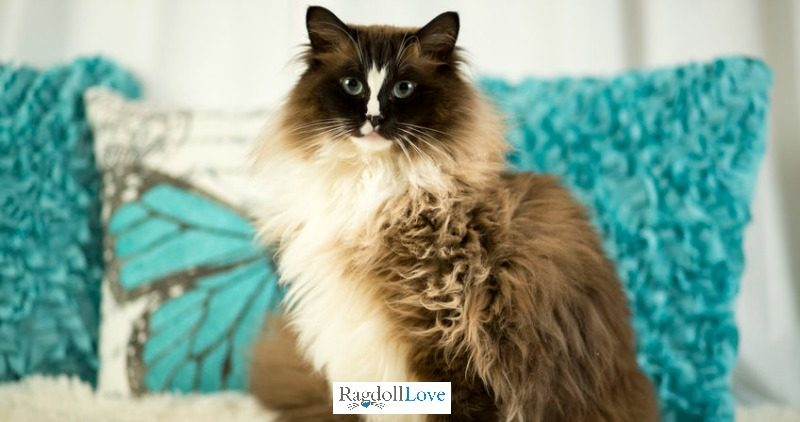 Seal Mitted Ragdoll Cat with HourGlass Blaze