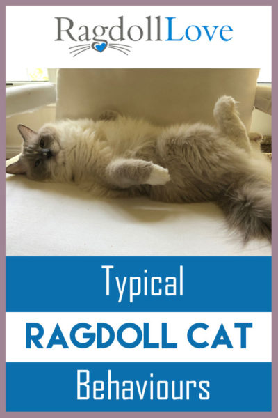 Ragdoll cat lying on his back, chilling