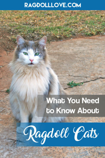WHAT YOU NEED TO KNOW ABOUT RAGDOLL CATS