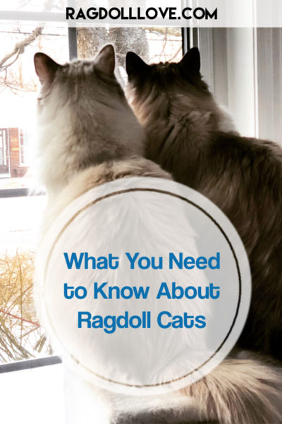 2 RAGDOLL CATS LOOKING OUTSIDE - WHAT YOU NEED TO KNOW ABOUT RAGDOLL CATS