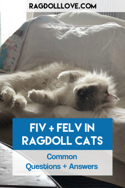 Sweet Ragdoll Kitten Male flopping on chair - FIV AND FELV IN RAGDOLL CATS