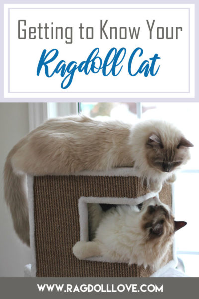 2 Ragdoll cats on a climber