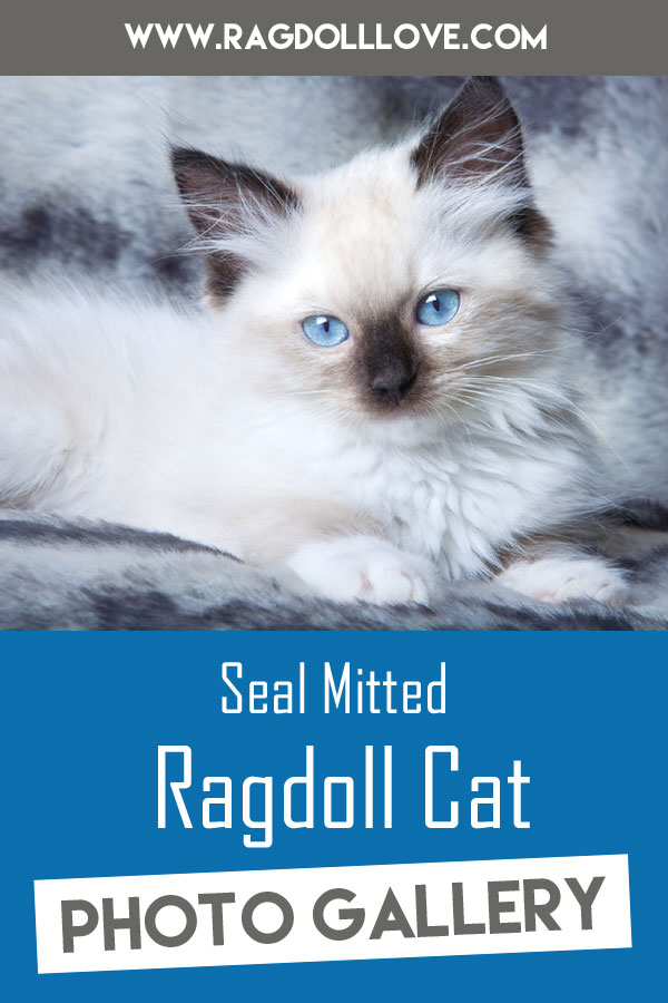 Seal Mitted Ragdoll Kitten lying down