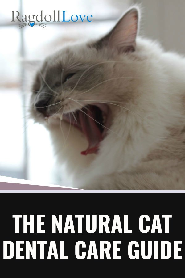 Ragdoll cat yawning and showing his teeth
