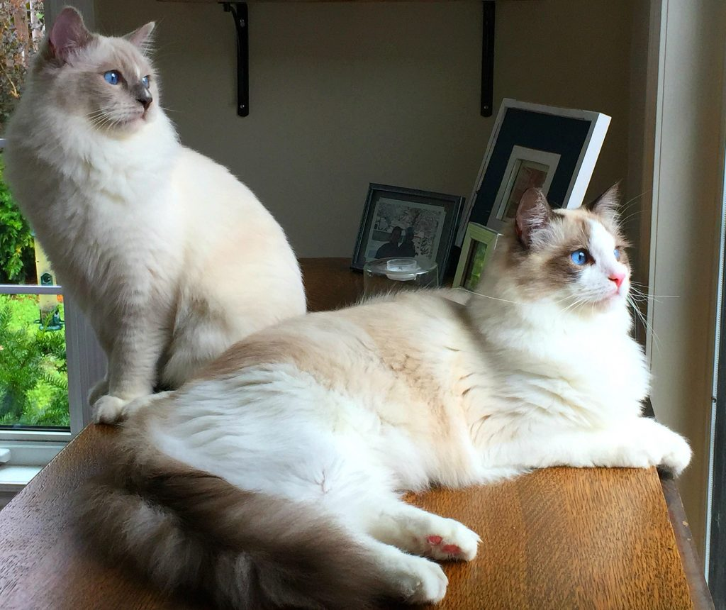 2 Ragdoll Breed of Kittens - Blue Mitted and Seal Bicolour
