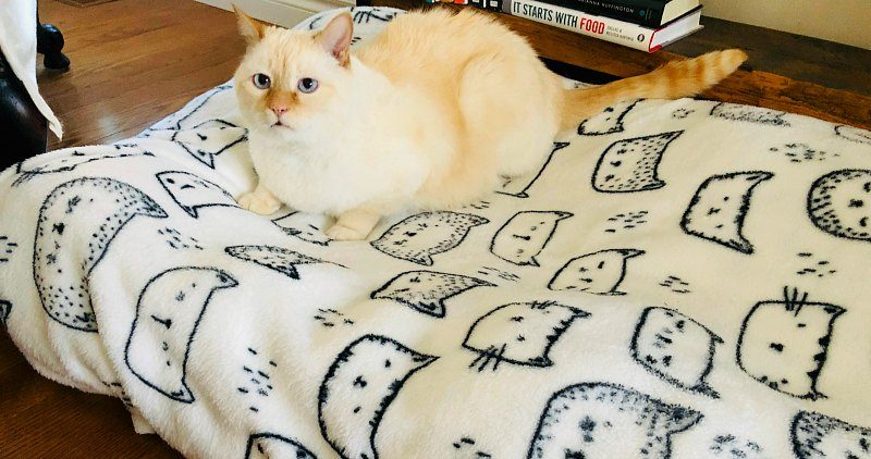 Creamy ginger cat on his bed on the floor