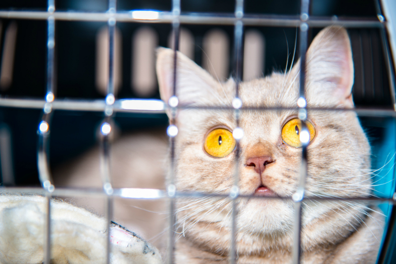 Cat with Gold Eyes in Cage