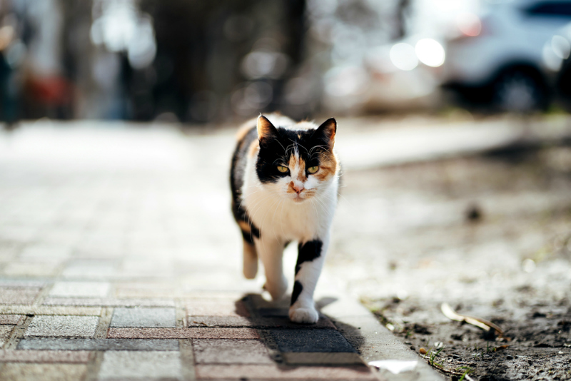 Black white and orange homeless cat strolling on sidewalk